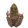 Marsh Frog isolated on white background