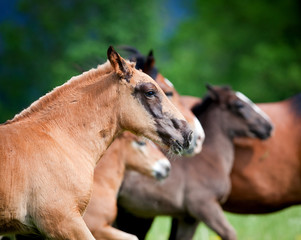 Wild horses runs gallop in field
