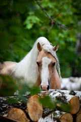 Welsh pony in forest