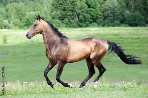 Ahal Connemara galopuje koń w polu
