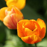 Closeup of orange tulip - Fine Art prints