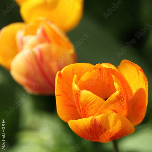 Closeup of orange tulip
