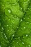 Fototapety WATER DROPS ON GREEN LEAF