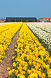 Yellow narcissus field in Holland