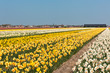 Multicolored narcissus field in Holland
