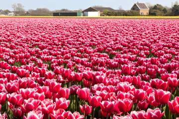 Multicolored tulip field in Holland