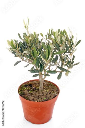 Olivier en pot de illustrez vous photo libre de droits 40416742 sur - Arrosage olivier en pot ...