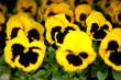 bratki bratek żółte czarne kolorowe kwiatki kwiaty roślina
