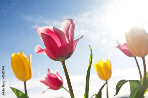 Beautiful pink and yellow tulip flower