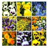 bratki fioletowe żółte białe sadzonki ogród niebieskie żółte