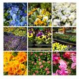 ogród sadzonka kwiaty rośliny ogrodowe bratki sklep kwiaciarnia