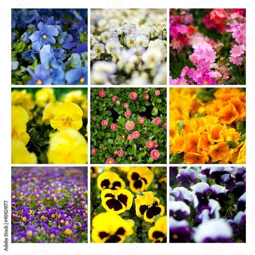 kwiaty kolorowe sadzonki stokrotki bratki sklep ogród