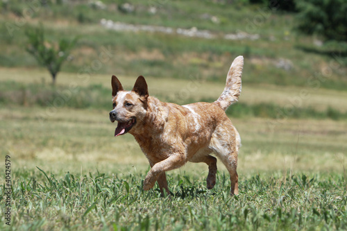 australian cattle dog walking