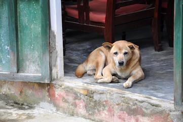 Hund Vietnam Asien