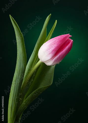 tulipan-z-kropli-wody-na-ciemnozielonym-tle