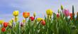Fototapeten,tulpe,frühling,hübsch,ostern