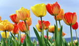 Fototapety Colorful tulips in spring