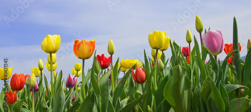Wonderful spring: tulip field with blue sky - 40431545