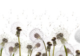 field with white dandelions