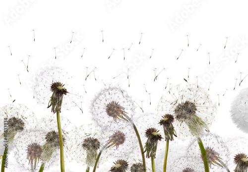Foto op Aluminium Paardebloem field with white dandelions