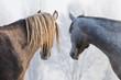 arabic horses