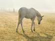 horse,foggy