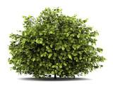 common hazel bush isolated on white background