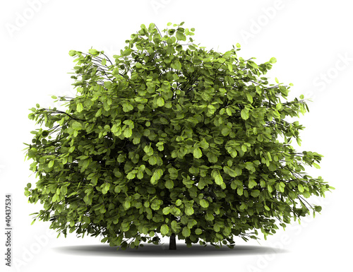 common hazel bush isolated on white background