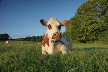 animal ferme vache 48