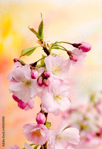 japonska-wisnia-na-wiosne