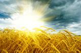 Fototapety Golden sunset over wheat field