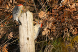 Red-bellied Woodpecker male & female