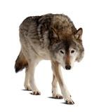 Wilk. Pojedynczo na białym
