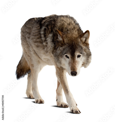 wolf. Isolated over white - 40457704
