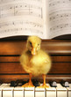 A duckling standing on a piano.