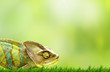 canvas print picture - Chameleon on beautiful green grass