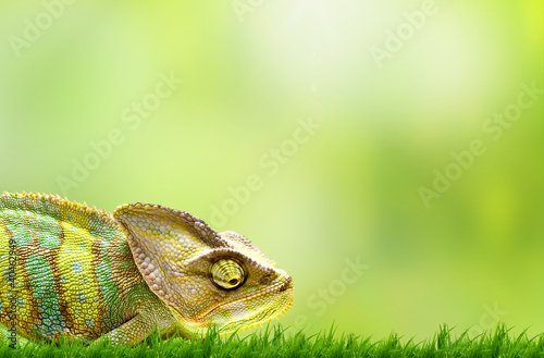 canvas print picture Chameleon on beautiful green grass