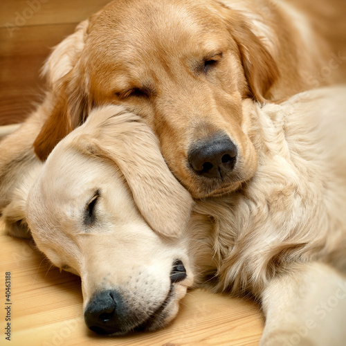 Fototapety, obrazy : View of two dogs lying