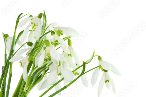 bunch of snowdrops isolated