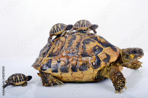 Tortue Hermann femelle et ses 3 bébés