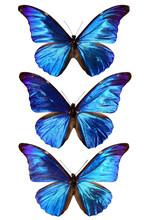three blue morpho