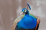 Fototapeta ptak - pióro - Ptak