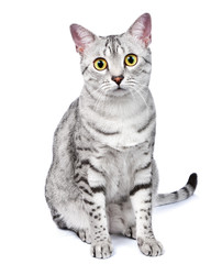 A Beautiful Egyptian Mau Cat Looks Directly at Camera