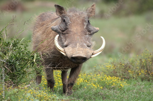 A warthog standing facing us with big tusks in south africa