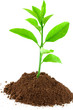 plant d'agrume