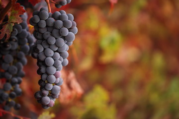 Red grapes on an autumn vine