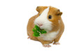 guinea pig eating green grass