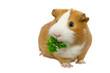 guinea pig eating green grass