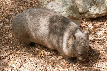 wombat nestling against a rock