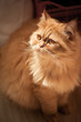 Red cat breed Selkirk rex.
